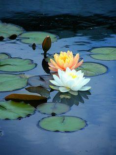 Lis d'eau, symbole de transformation et de fécondité, féminin sacré: