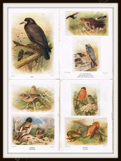 BIRDS Antique Book Page Prints - Set of 4 pages  by KnickofTime