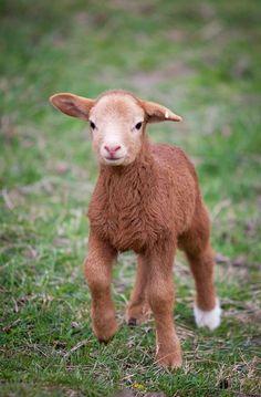 A little roan color sheep!