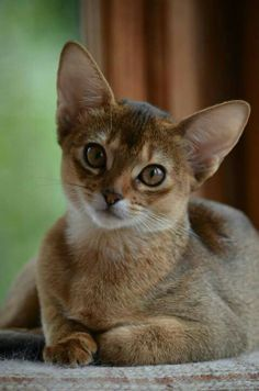 Animals And Pets, Baby Animals, Cute Animals, Pretty Cats, Beautiful Cats, Pretty Kitty, Kittens Cutest, Cats And Kittens, Somali
