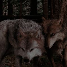 Twilight Wolf, Twilight Saga, Twilight Pictures, Harry James Potter, Diagon Alley, Collage Ideas, Werewolves, Damon, Husky