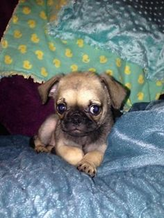 33 Best Doggy plantation images in 2016 | Pugs, Dogs, Cute Dogs