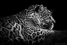 Jaguar. Such a beautiful animal..