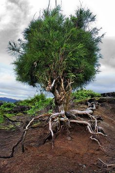 Walking tree. Ironwood (Casuarina sp.) in Kauai, Hawaii. Photo: Albino on Flickr