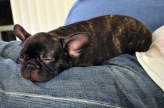 THIS JUST IN: A French Bulldog Morsel