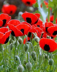 'Ladybird' Poppies