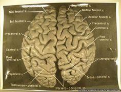 El cerebro tiene un atlas para las palabras