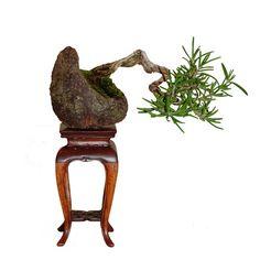 rosemary bonsai   Bonsai Rosemary