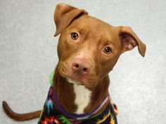 SAFE --- URGENT - Manhattan Center   PRINCESS - A0983419  *** SAFER: EXPERIENCED HOME, NO CHILDREN ***   SPAYED FEMALE, BROWN, PIT BULL MIX, 1 yr  SEIZED - ONHOLDHERE, HOLD FOR LEGAL Reason OWN ARREST  Intake condition NONE Intake Date 10/28/2013, From NY 10039, DueOut Date  Original thread:  https://www.facebook.com/photo.php?fbid=697781396901409&set=a.617938651552351.1073741868.152876678058553&type=3&permPage=1