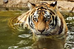 Amur / Siberian Tiger Cools Off 1 at the Philadelphia Zoo - http://www.1pic4u.com/tierbilder/tiger/amur-siberian-tiger-cools-off-1-at-the-philadelphia-zoo/