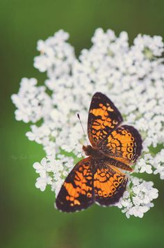 Pearl Crescent by Tanja Carda