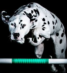 Dalmatian Puppy Dog Only Dogs & Horses Photography Cute Baby Dogs, Cute Babies, Horse Photography, Dogs And Puppies, Dalmatians, Animals, Life, Animales, Animaux