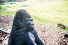 Visiter #Londres avec le #LondonPass : #gorille au #LondonZoo