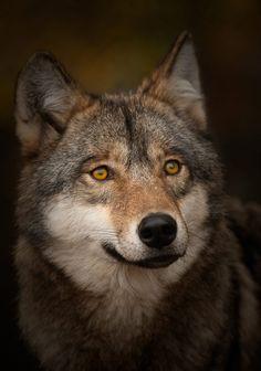 llbwwb:  Excellent Wolf Portrait (via Wildlife Photography by Csaba Tokolyi|Smashing Picture)