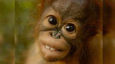 Orangutan Overbite