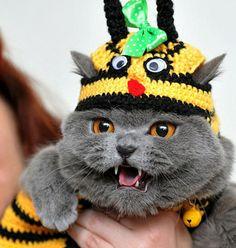 British Shorthair in a knitted bee hat -- a real cat in Bishkek, #Kyrgyzstan