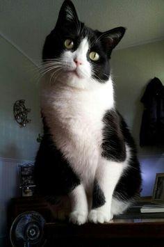 Black White kitty ~ Frankie