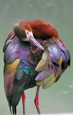 a White Faced Ibis…                                                       …