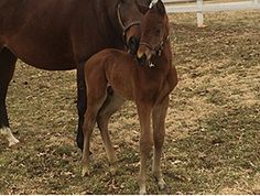 Lentenor's first foal is a colt out of Smoke 'Em Over (Smoke Glacken)