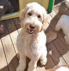 He's a Steinbeck fan.    NY-Charley is an adoptable Standard Poodle Dog in Montclair, NJ. LOCATED IN NEW ROCHELLE, NEW YORK MEET CHARLEY!-A handsome 18 month old Labradoodle boy in need of a new 'furever' home and family. He ...