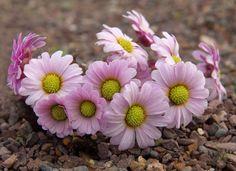Callianthemum anemonoides ...........Alpine Garden Society