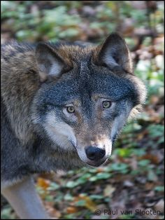 Canis Lupus STOP KILLING WOLVES !