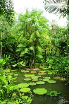 Massive lily pads, Singapore National Orchid Garden