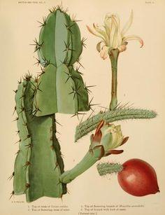 ilustração cientifica cactus - Pesquisa Google