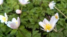 Anemone bianco |