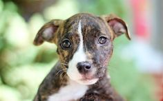 Download wallpapers pit bull, puppy, small dog, portrait, 4k