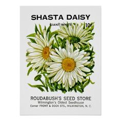 Customizable #Daisy #Flora #Flower #Garden #Illustration #Illustrations #Moffa #Nature #Packet #Seed #Shasta #Sunshinedazzle #Vintage Shasta Daisy Vintage Seed Packet Poster available WorldWide on http://bit.ly/2gg6bh6