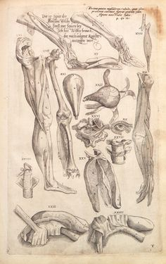 De Humanis Corporis Fabrica VII, by Andreas Vesalius. Gross Anatomy, Human Body Anatomy, Muscle Anatomy, Andreas Vesalius, Medical Illustration, Illustration Art, Weird Science, Anatomy Drawing, Anatomy And Physiology