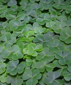 St. Patrick used the shamrock in the 5th century to illustrate the doctrine of the Holy Trinity as he introduced Christianity to Ireland. Happy St. Patrick's Day and God bless!