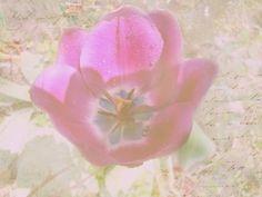 Strukturfoto: Tulpe nach dem Regen