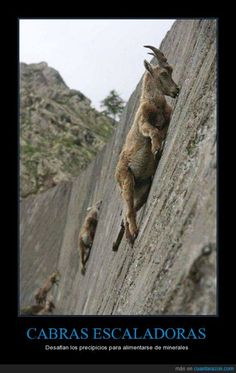 Climbing goats: They defy the precipices to feed on minerals Nature Animals, Animals And Pets, Funny Animals, Cute Animals, Animal Pictures, Cool Pictures, Cool Photos, Beautiful Creatures, Animals Beautiful