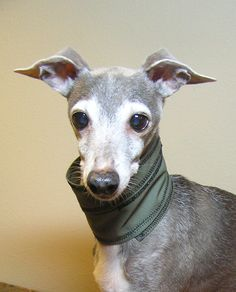 Bow Bow Italian Greyhound ~Tammy D~ //photo ©