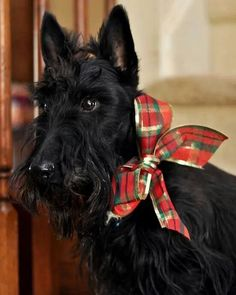 A beautiful Scottie in Christmas Tartan. Scottish Terrier Puppy, Terrier Dogs, Cairn Terrier, Pet Dogs, Dog Cat, Doggies, Animals And Pets, Cute Animals, Tartan Christmas