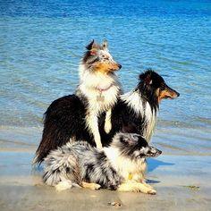 Three Cute Blue Merle Shetland Sheepdogs by the Seaside