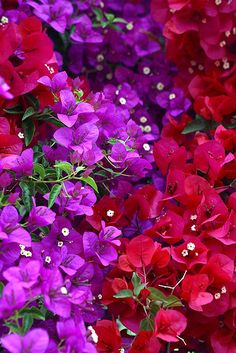 Bougainvillea is a genus of thorny ornamental vines, bushes, and trees with flower-like spring leaves near its flowers. Tropical Flowers, Exotic Flowers, Amazing Flowers, My Flower, Pretty Flowers, Colorful Flowers, Tropical Garden, Red Flowers, Bougainvillea