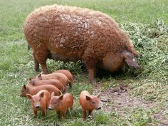 Mangalitza (or Mangalica) is a rare breed pig originating in Hungary that grows a curly coat not unlike a sheep. Click on Pin for more about the shig.