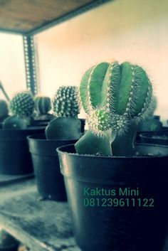 Tanaman Hias Kaktus Mini Unik Temurah di Denpasar Bali  081239611122