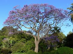 purple, Jacaranda Tree