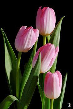 ~tulips