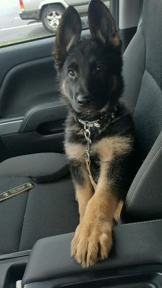 14 Wonderful German Shepherd Pictures To Make You Smile Super Cute Puppies, Cute Baby Dogs, Cute Dogs And Puppies, Pet Dogs, Doggies, Corgi Puppies, Weiner Dogs, German Shepherd Pictures, Cute German Shepherd Puppies