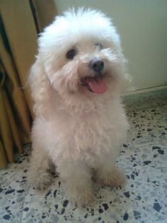 The poodle is a great fit for those seeking a low-shedding animal for their home. -- Check out this information about pet dogs. Bichon Dog, Maltipoo Dog, Maltese Dogs, Perros French Poodle, French Poodles, Super Cute Puppies, Cute Little Puppies, White Toy Poodle, Dog Cat
