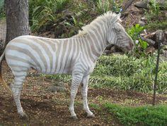 Golden Zebra, Albino And Amelanistic Zebras, And The Zorse Amazing Animals, Unusual Animals, Animals Beautiful, Strange Animals, Beautiful Things, Rare Albino Animals, Fauna, Beautiful Creatures, Pet Birds