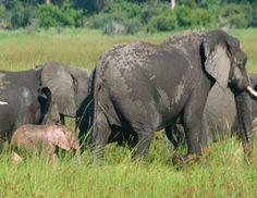Animal Oddity - Albino Pink Elephant Calf - RWS Photo Blog - Splendour pictures of Borneo