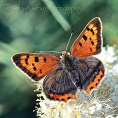 Small Copper Butterfly 8 x 8 Fine Art by observingnature on Etsy, $15.00