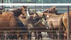 #ThrowbackThursday: In the summer of 2013, several groups litigation forced the U.S. Forest Service to withdraw from a backroom deal with the Ft. McDermitt Paiute Shoshone Tribe to roundup wild horses from public and private lands in Nevada and send them to a slaughter auction. Although the tribe proceeded with the roundup, hundreds fewer horses were captured, thanks to the federal withdrawal from the plan.
