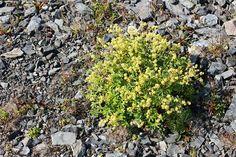 Tunturipoimulehti - Alchemilla alpina poimulehti poimulehdet ruusukasvit…